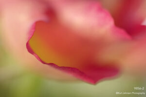 flower petals implied red