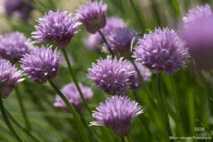 flower flowers purple chive