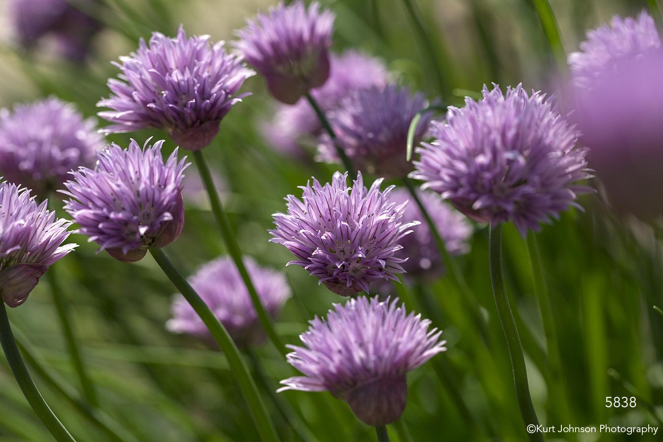 flower flowers purple chive