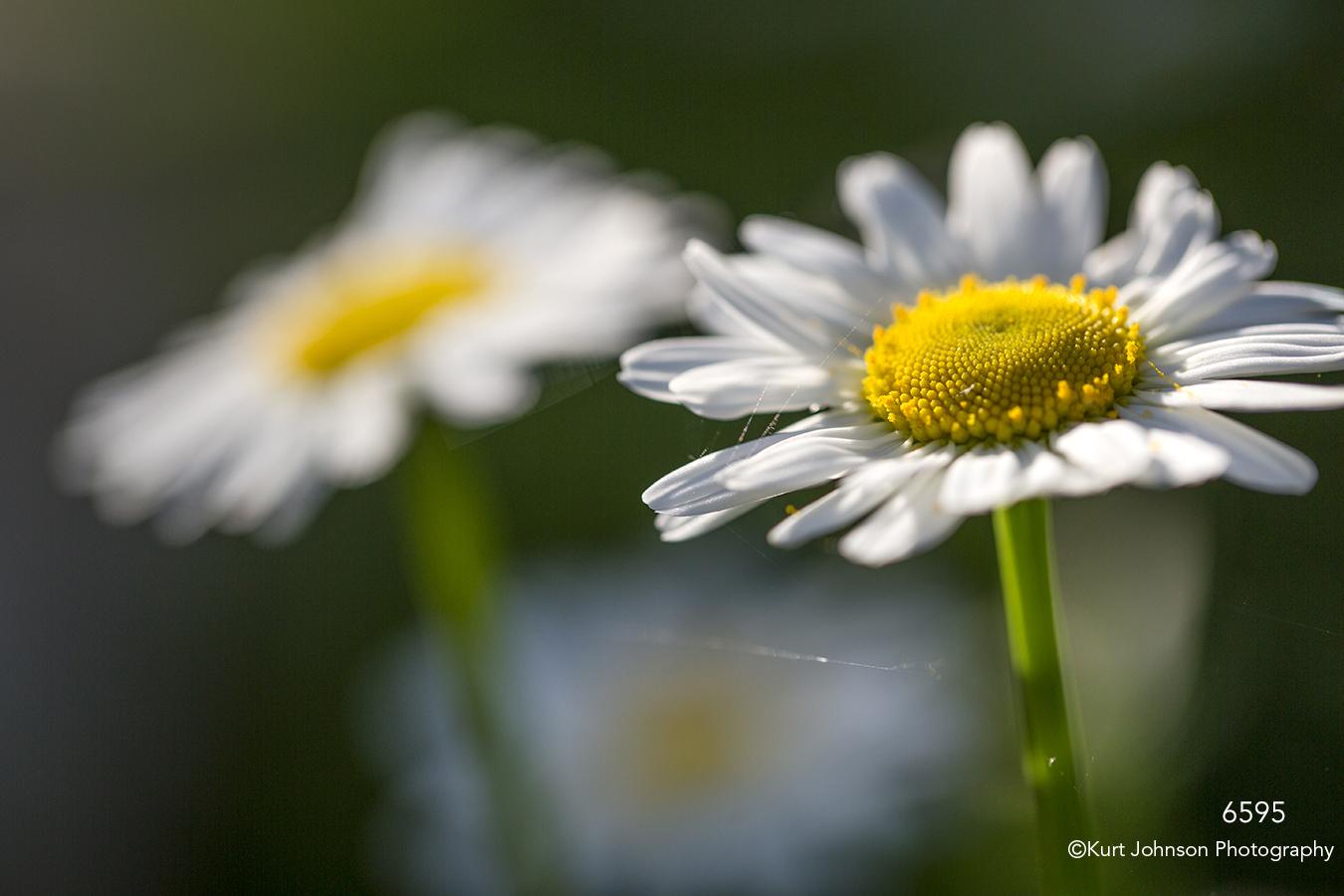 flower flowers white daisies daisy