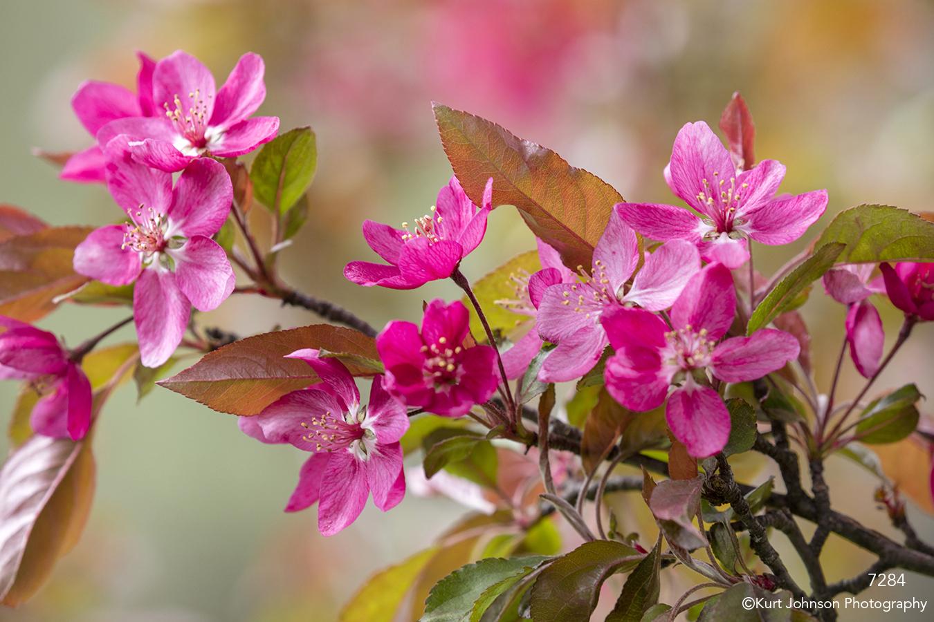 flower flowers pink buds blooming flowering tree spring