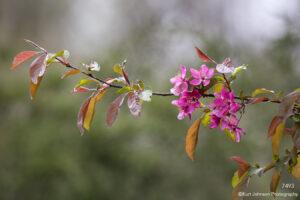 flower flowers pink leaves flowering tree