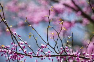 flower flowers flowering tree pink purple leaves branches