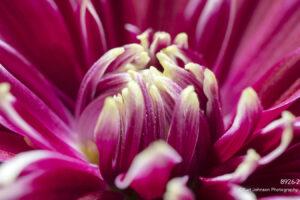 flower pink petals