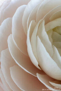 flower pink white petals