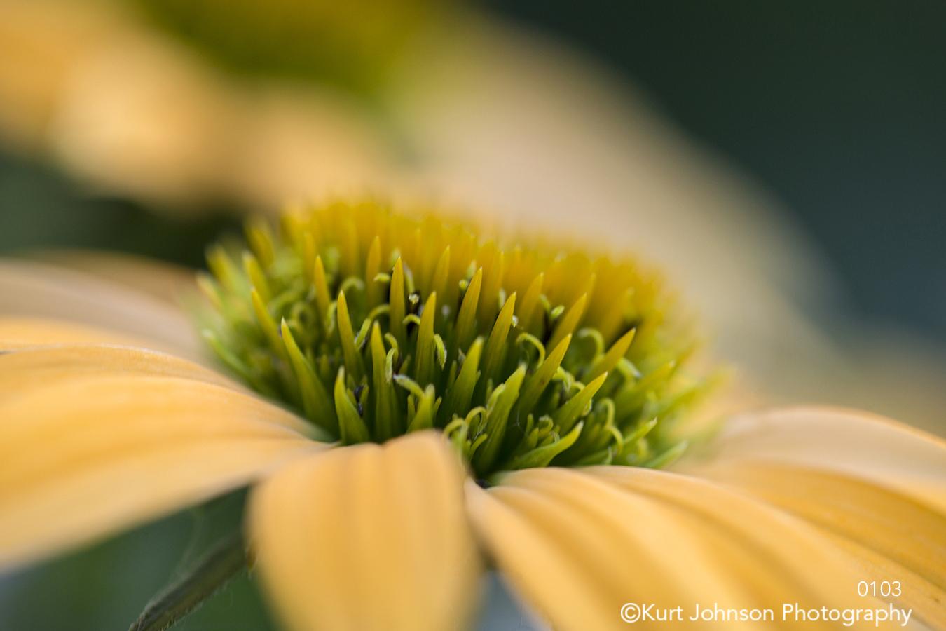 yellow flower flowers petal petals bloom daisy green