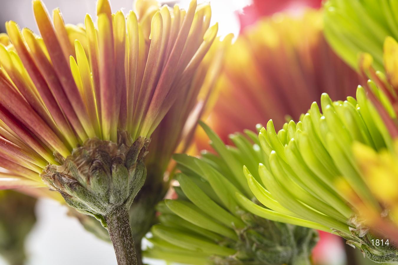 red green yellow chrysanthemum flower flowers bloom blooming