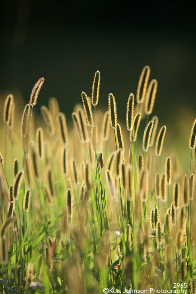 tall grass grasses field green brown yellow meadow midwest