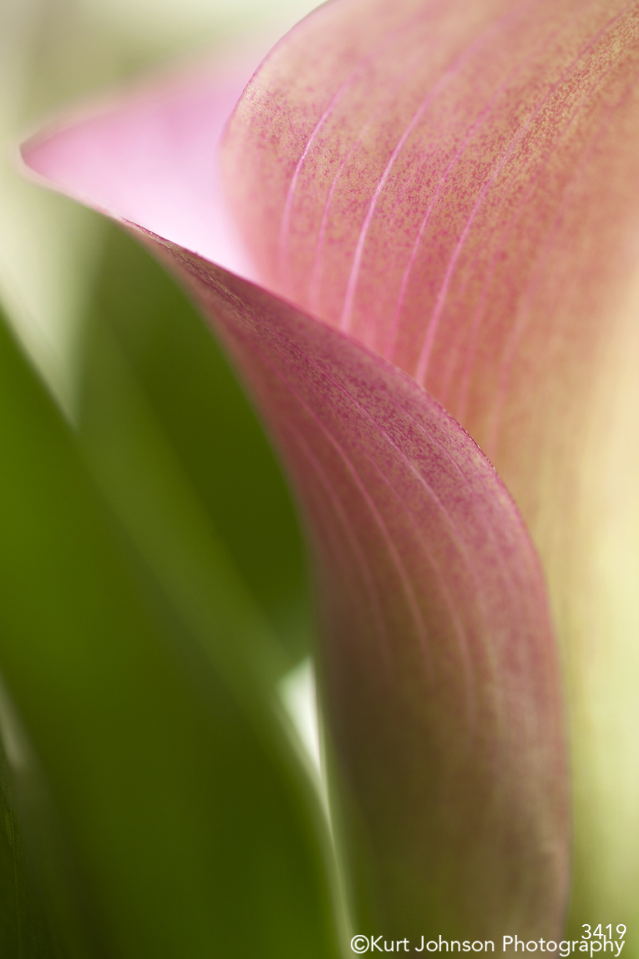 flower petal curve pink green bloom detail close up