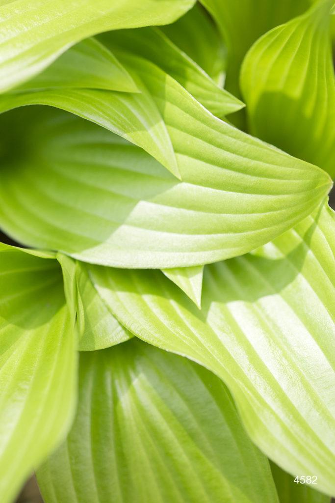 green yellow leaves hosta detail