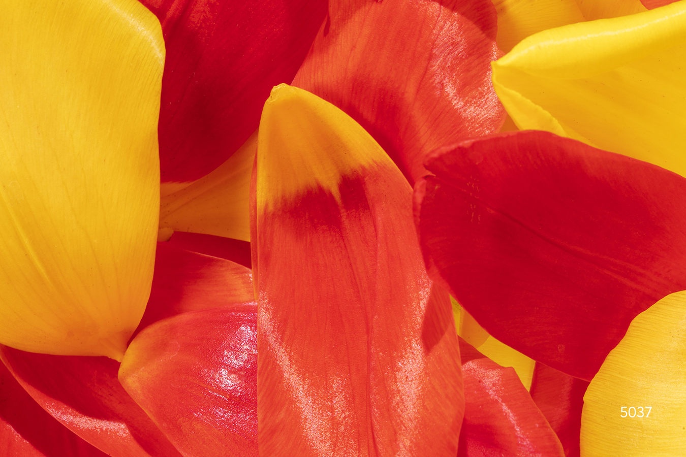 red yellow rose petal petals close up detail flower flowers