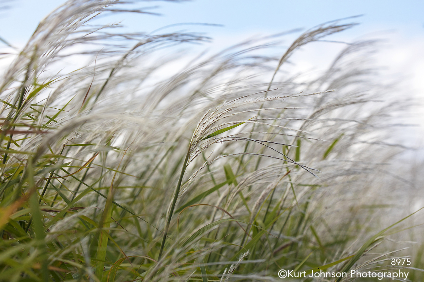 grass grasses meadow prairie midwest wheat soft wind white gray green blue sky