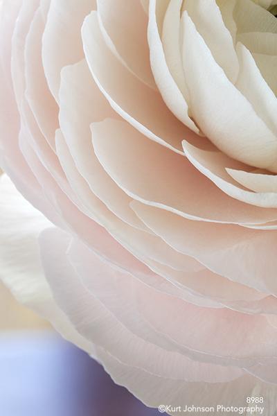 petal petals white peony pink bloom blossom flower soft blue
