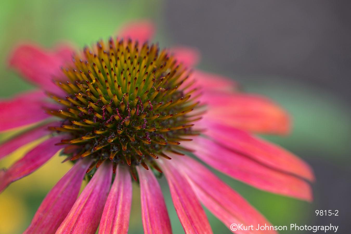 flower pink bloom petal petals bright coneflower magenta detail closeup
