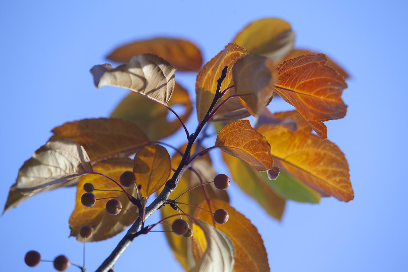orange yellow leaves blue sky autumn berries growth