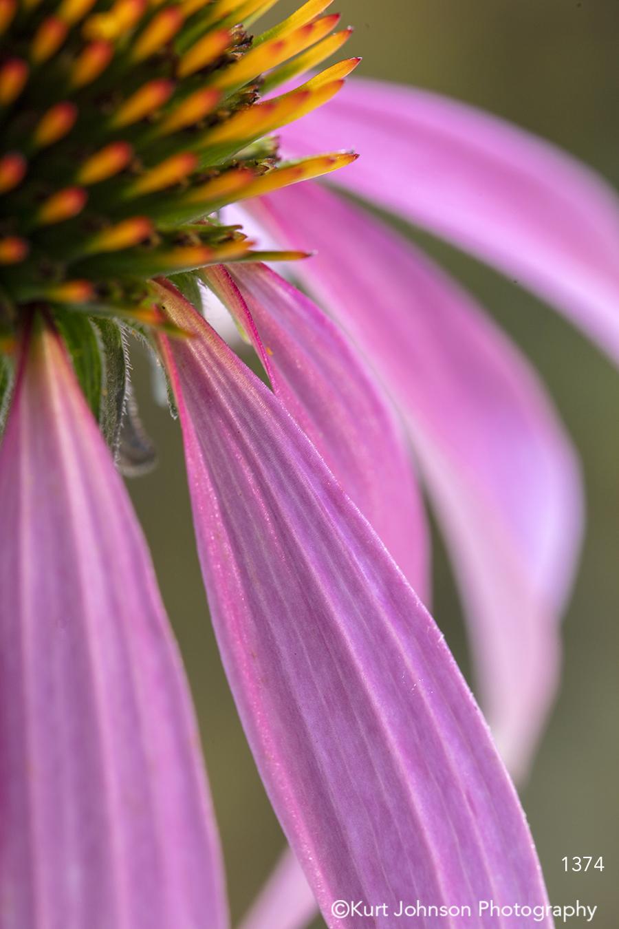 pink coneflower orange bloom flower petals wildflower detail close up