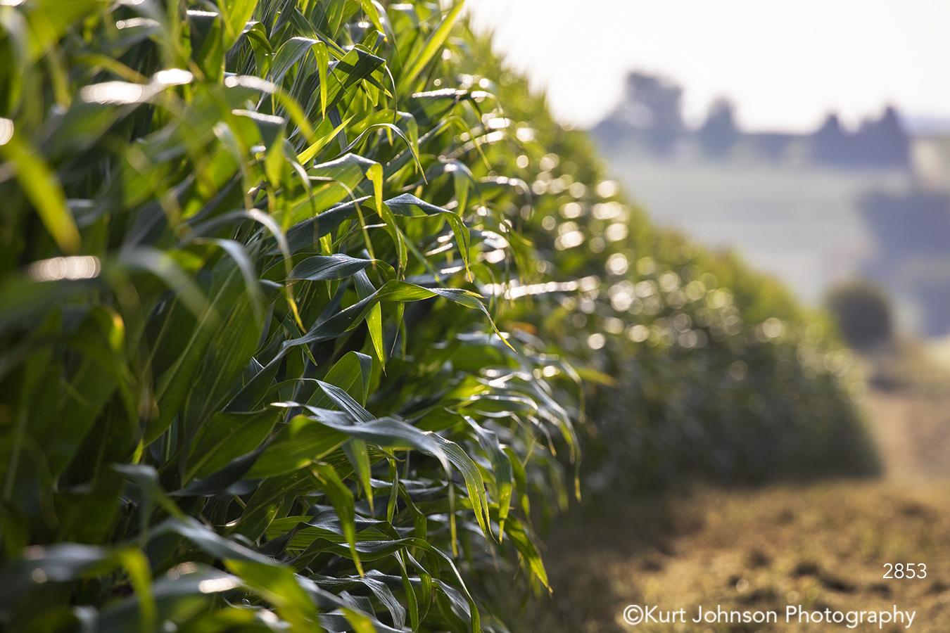 green grass corn field grasses midwest farm