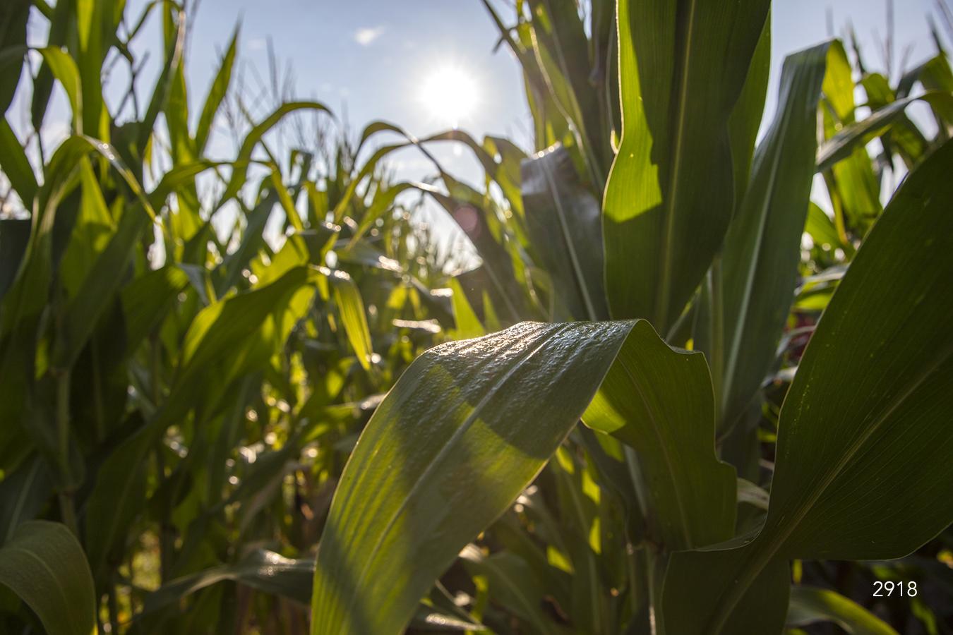 green leaves corn field grass grasses midwest prairie