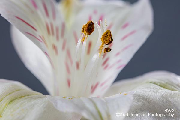 white lily blue flower petals bloom detail close up