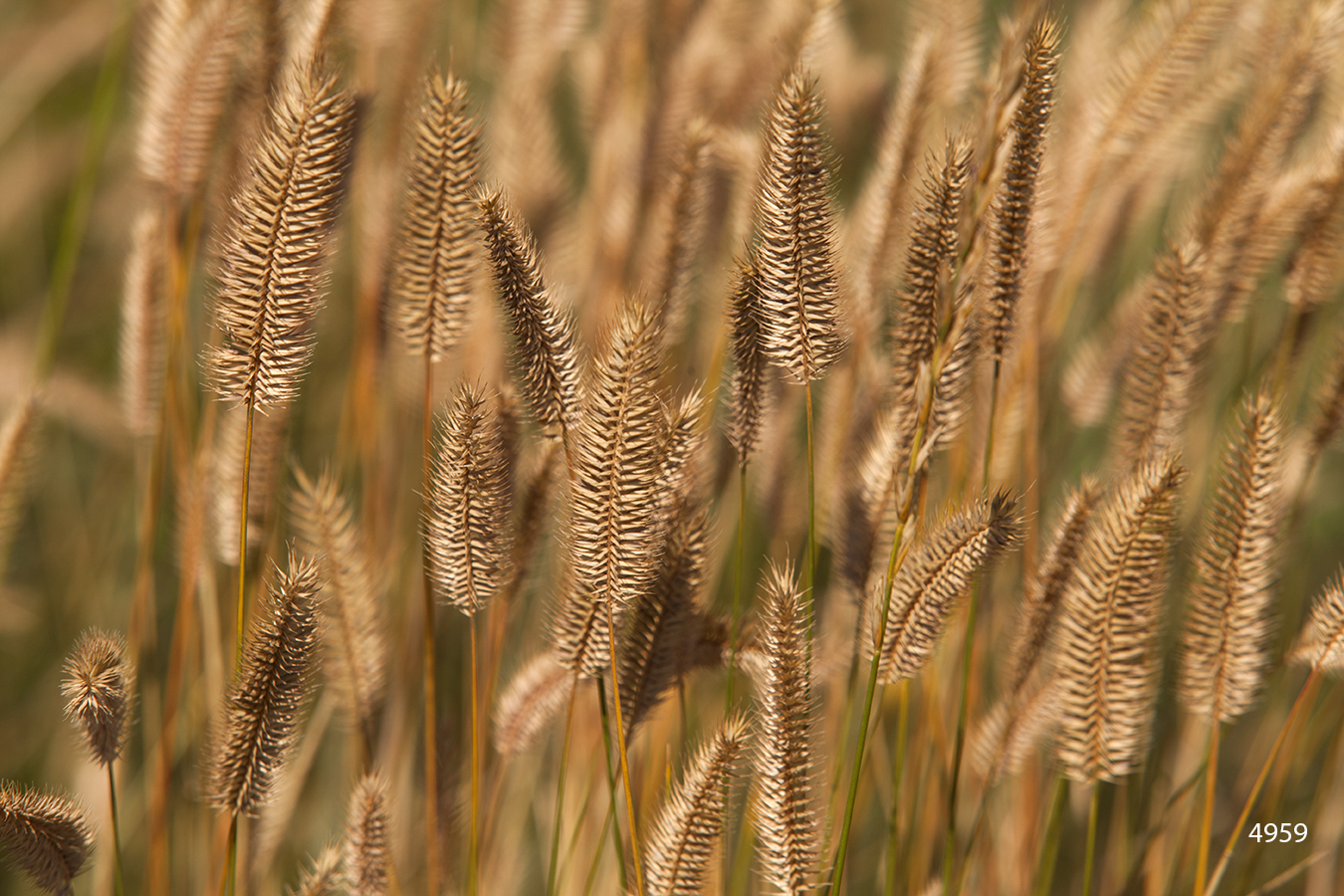 brown gold grass grasses wheat field earth tones