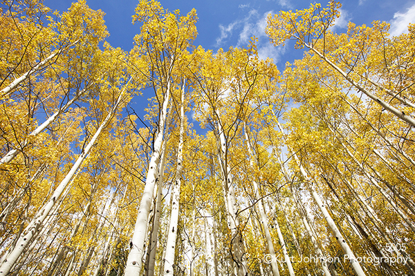 yellow birch trees gold forest lines blue sky