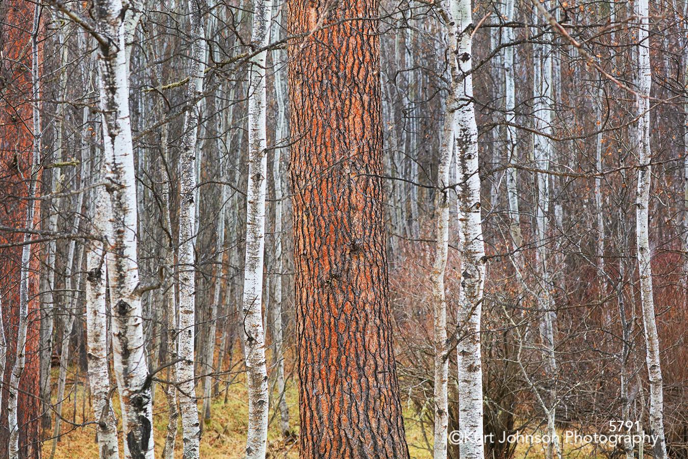 White red brown birch trees forest Dakotas South Dakota Black Hills