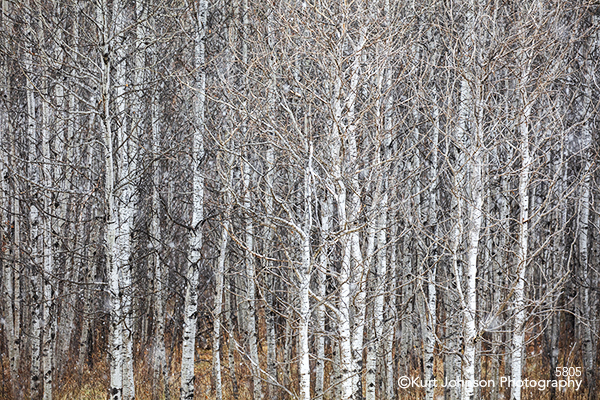 White birch trees forest Dakotas South Dakota Black Hills