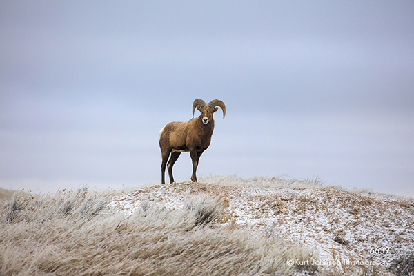Badlands Dakotas South Dakota mountain sheep wildlife mountains grasses animal brown