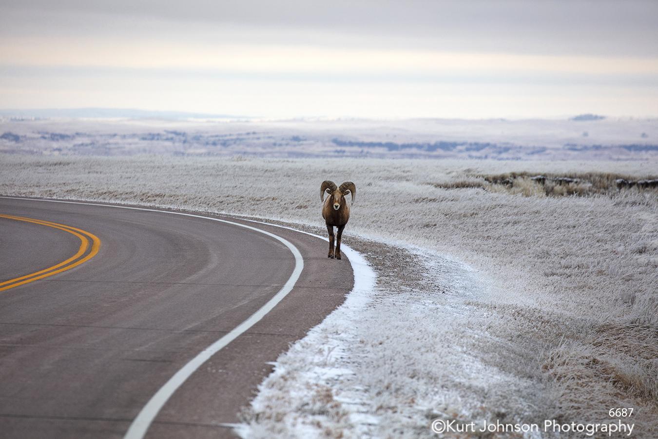 Badlands Dakotas South Dakota mountain sheep wildlife mountains road path animal brown gray