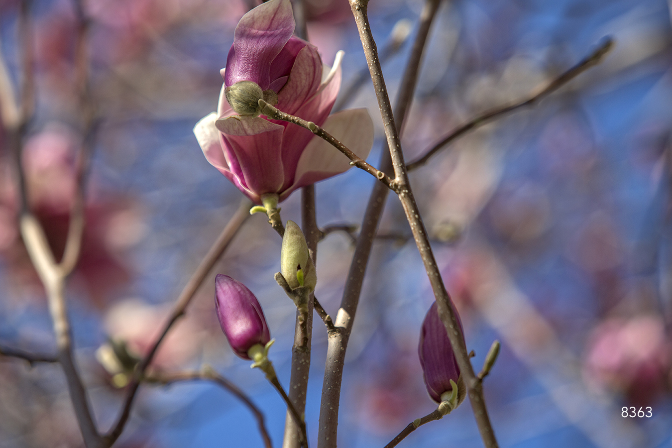 pink buds petals leaves spring branches blue flowers