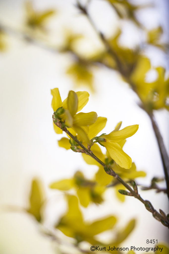 yellow spring tree branch blooms flowers petal petals growth