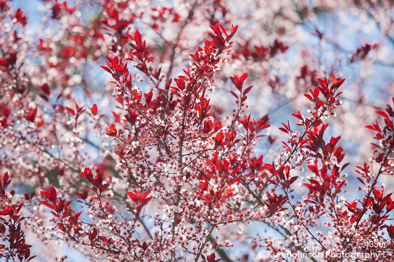 blue sky red white leaves branch branches tree blossom buds spring