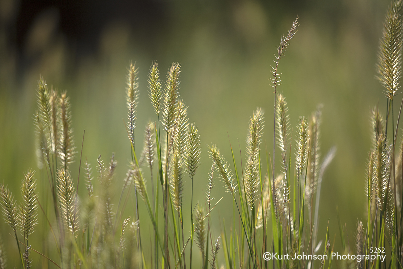 green yellow grass grasses wheat field midwest