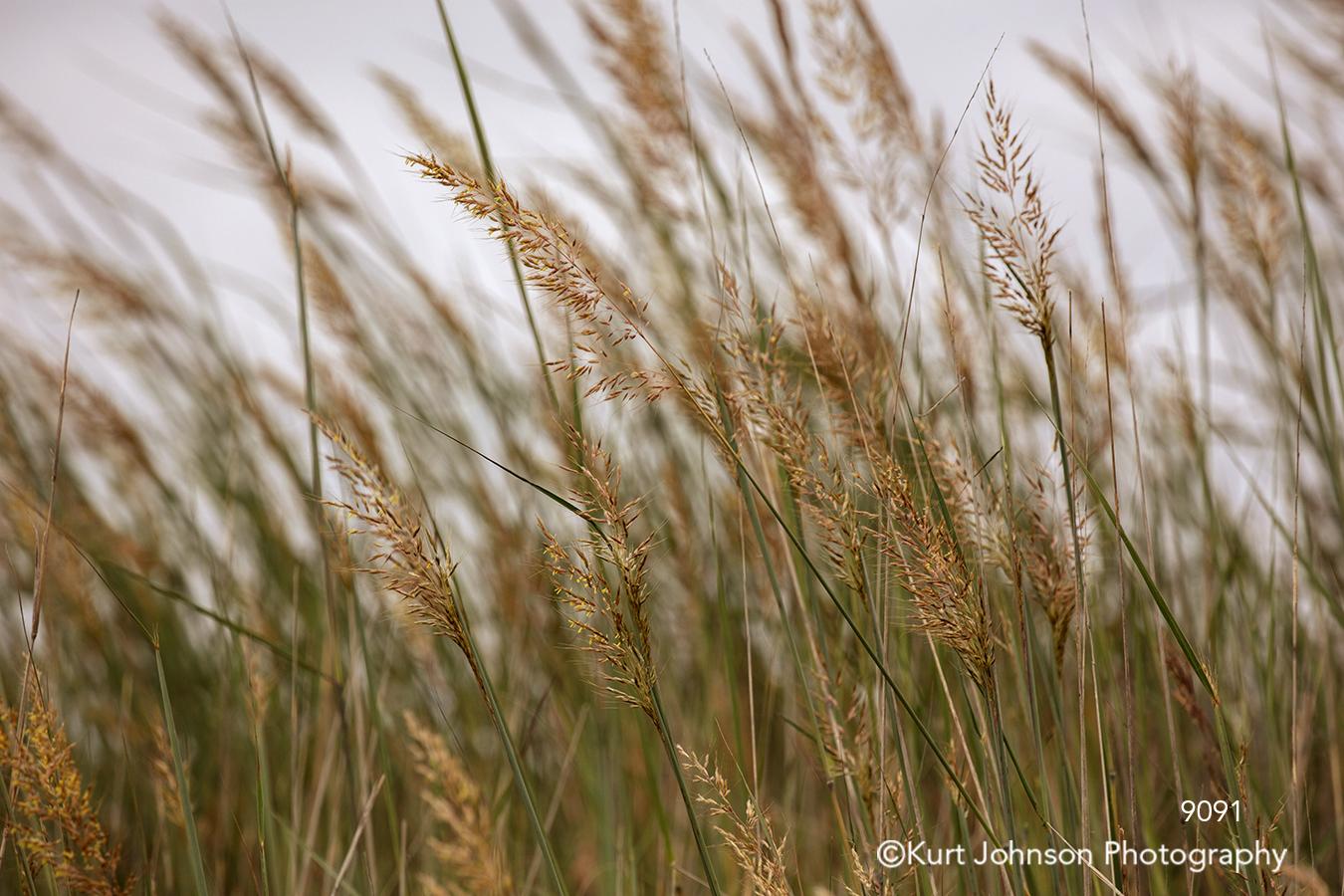 wheat field tall grass grasses wind green brown midwest