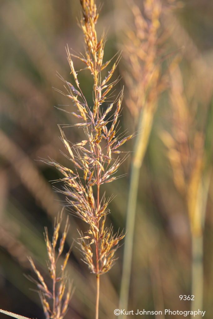gold brown yellow wheat grass grasses close up detail