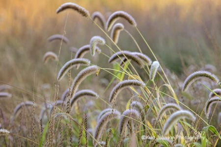 grass grasses brown green wheat field midwest