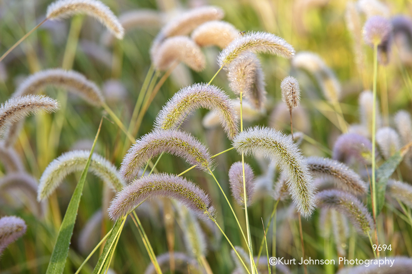 wheat field grass grasses green yellow midwest
