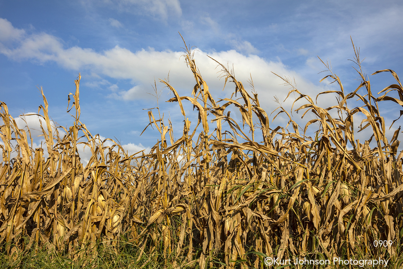 country midwest yellow gold corn field farm blue sky