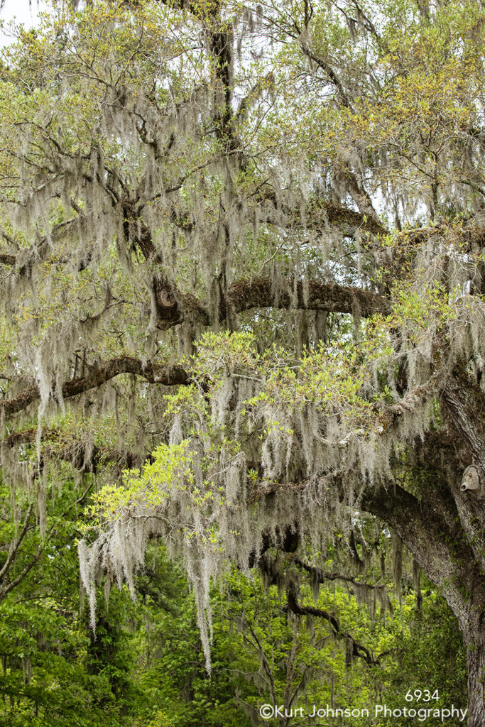 southeast Charleston South Carolina green white trees moss brown branches