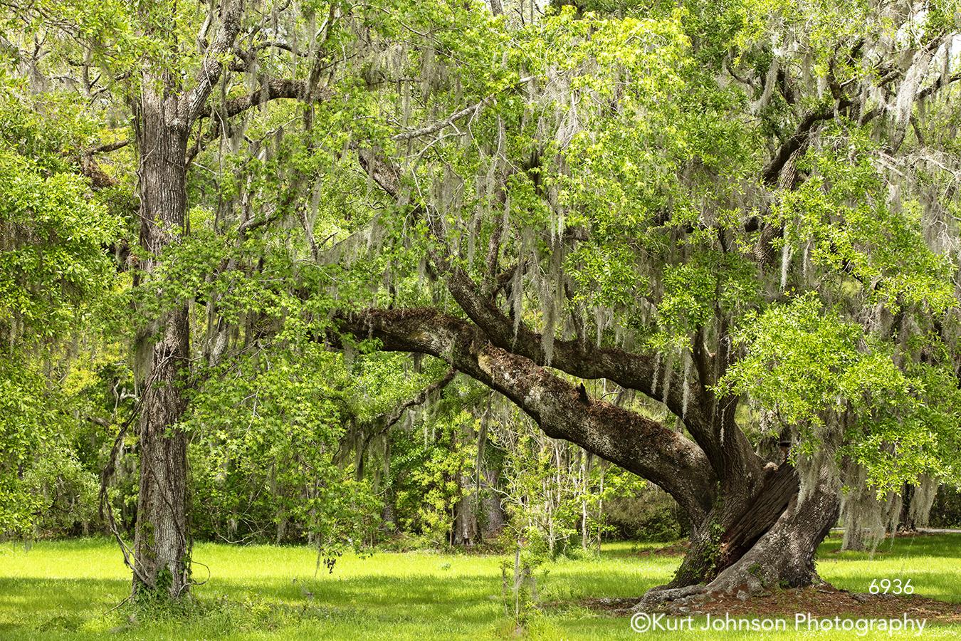 southeast Charleston South Carolina green tree trees branches moss landscape