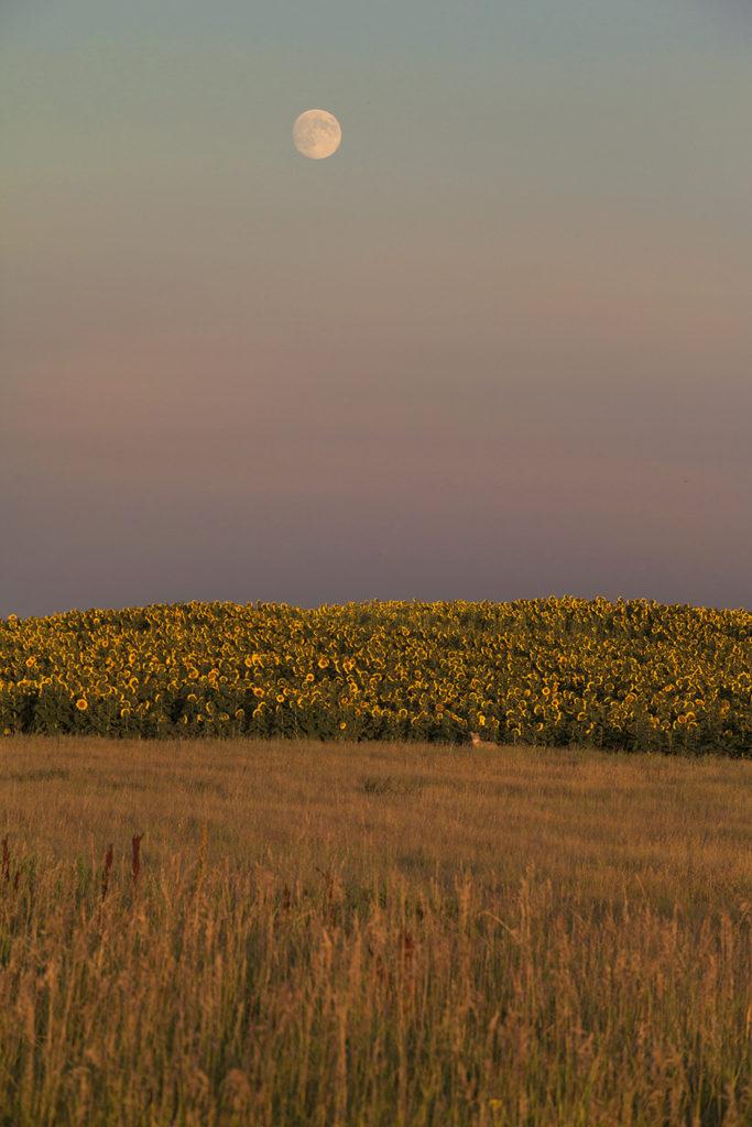 midwest field purple wildflowers field grasses moon country farm