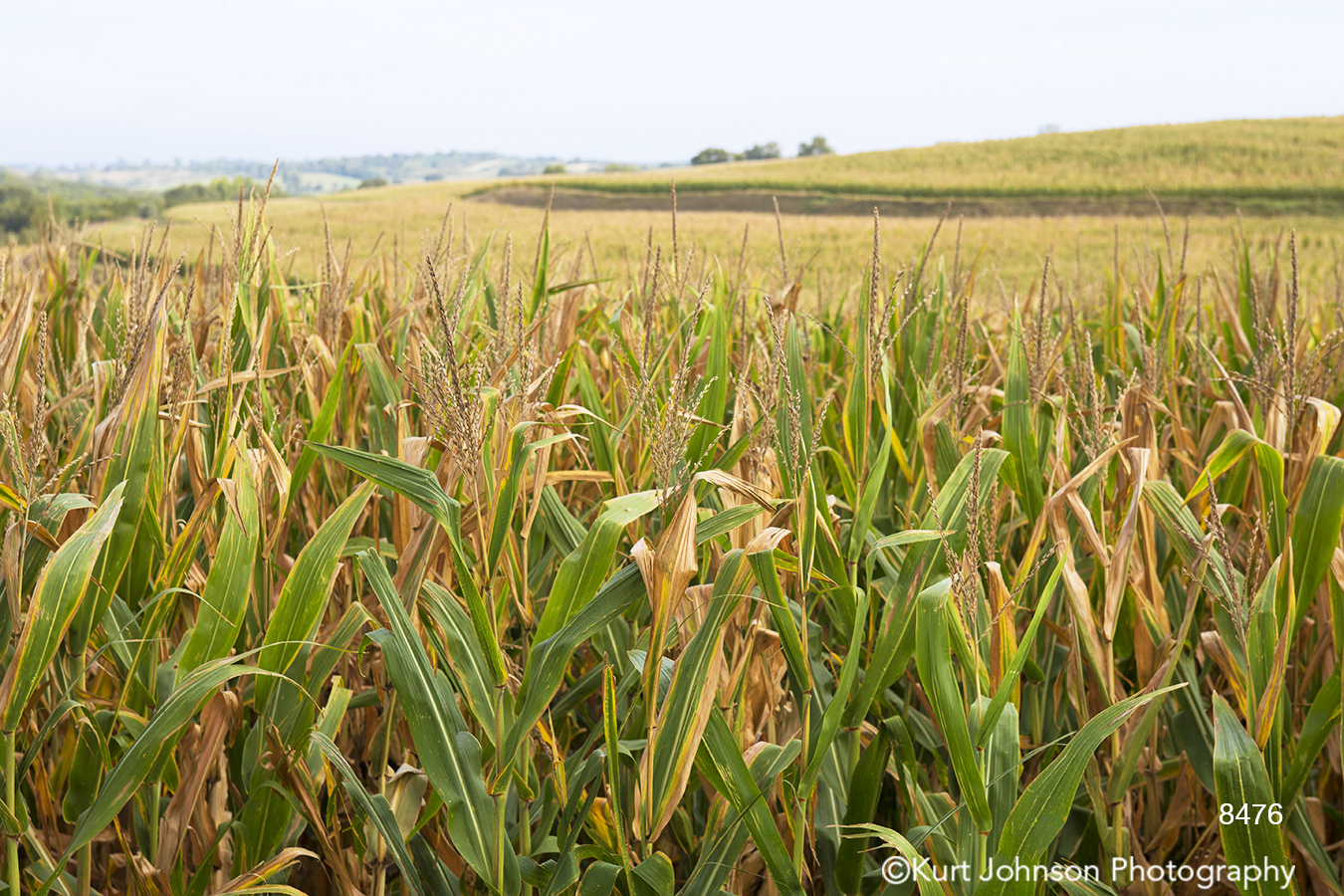 midwest corn field green yellow grass country farm