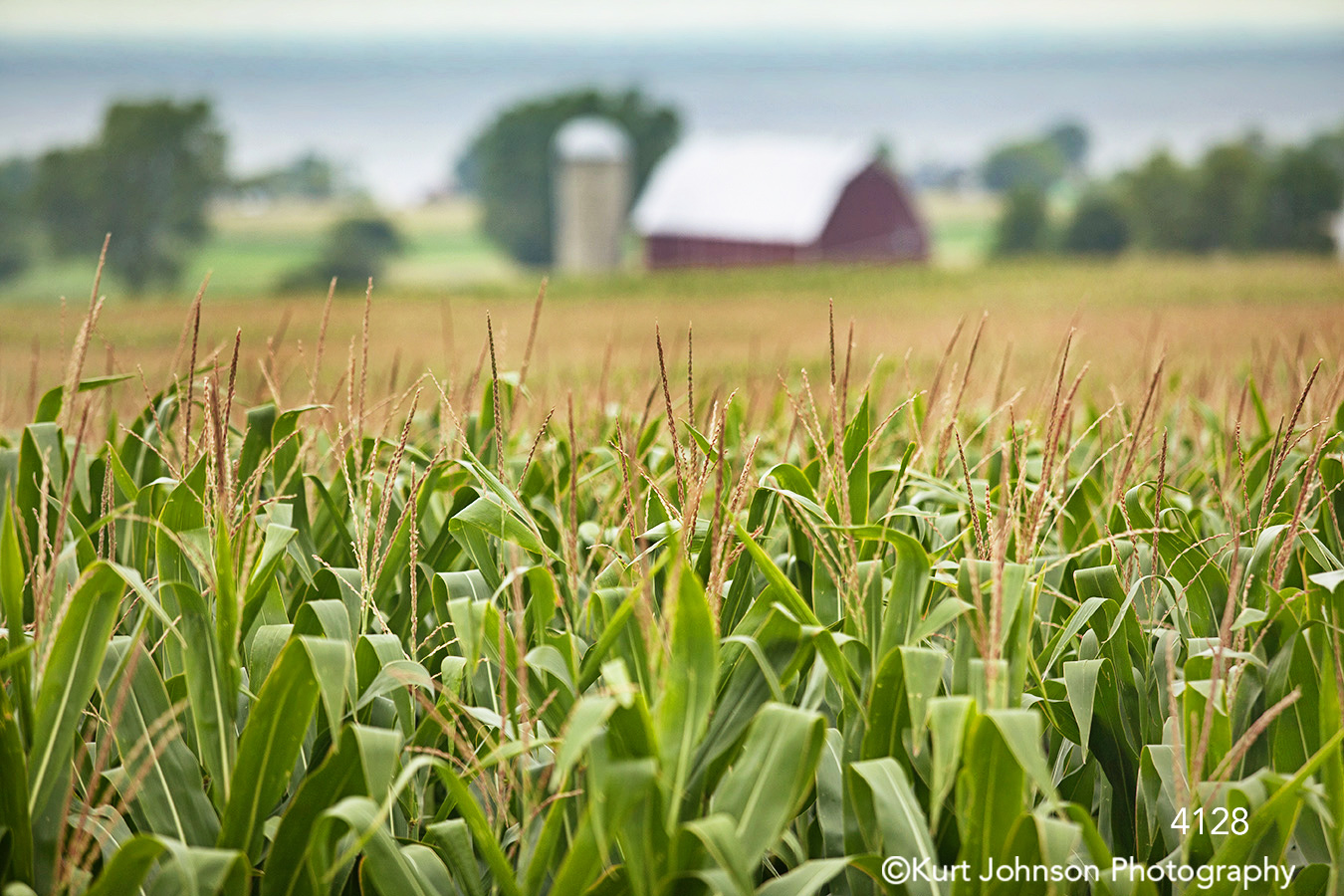 corn field green yellow midwest red barn country grass grasses