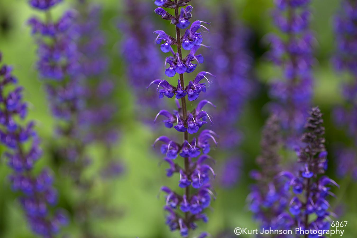 purple lavender flowers macro close up bokeh