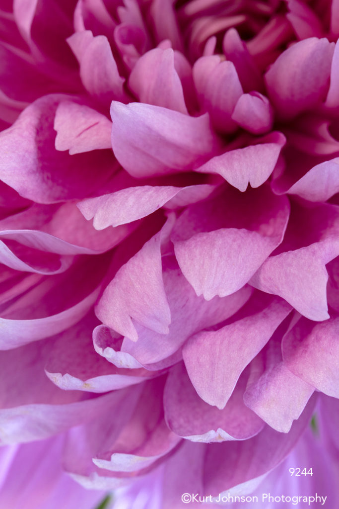 pink flower petals pattern detail macro