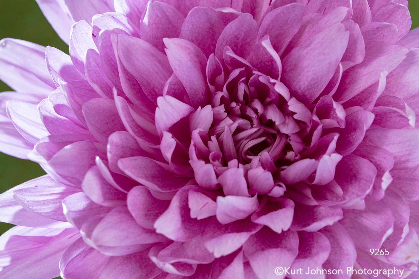 pink flower petals chrysanthemum close up pattern detail macro