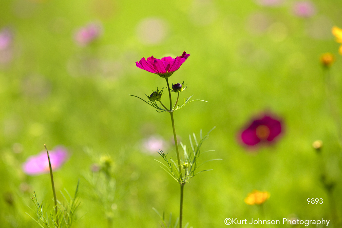 pink poppy flower field spring green colorful