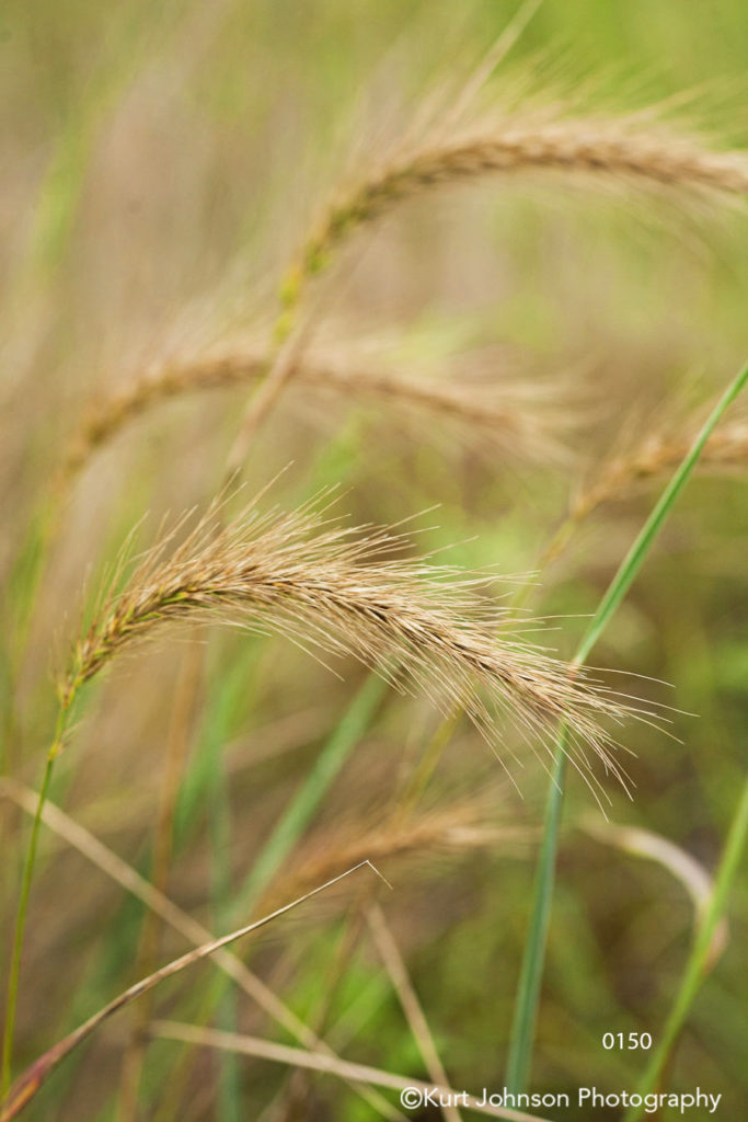 yellow green wheat field tall grass close up grasses midwest