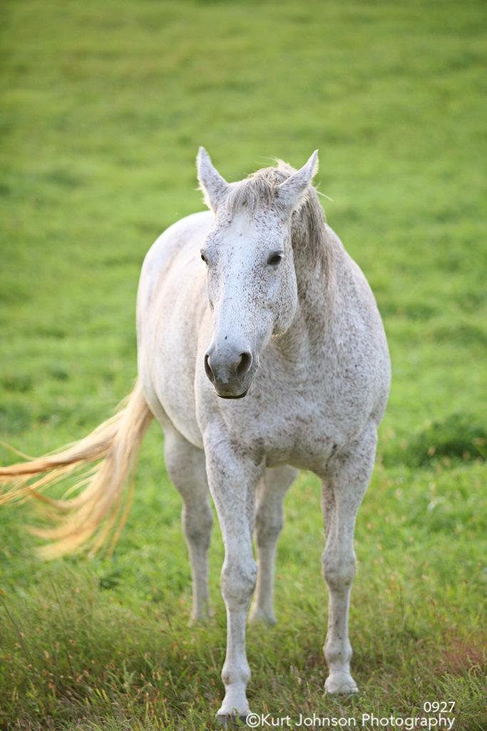 wild horse white animal wildlife pasture meadow