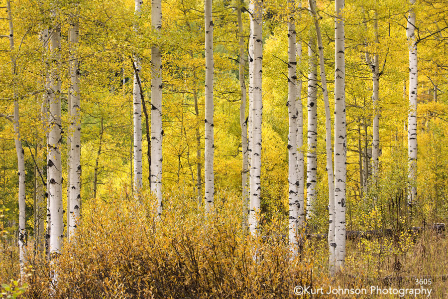 yellow birch trees forest